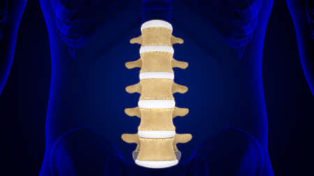 Human Skeleton Vertebral Column Lumbar Vertebrae Anatomy 3D Illustration