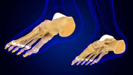 Human Skeleton Foot bones Anatomy For Medical Concept 3D Illustration