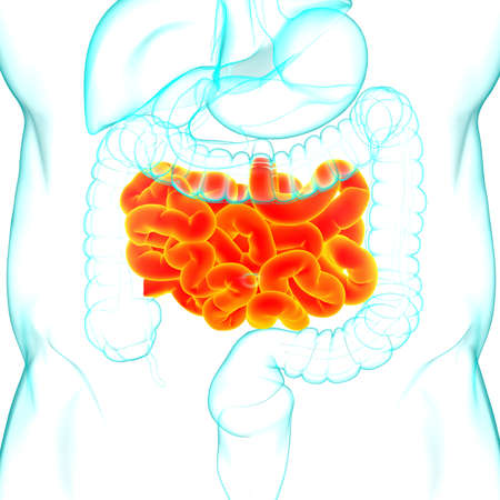 Small Intestine 3D Illustration Human Digestive System Anatomy For Medical Concept