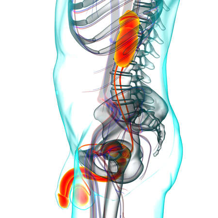 Male Reproductive System Anatomy For Medical Concept 3D Illustration