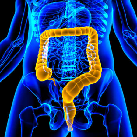 Large Intestine 3D Illustration Human Digestive System Anatomy For Medical Concept Stock Photo