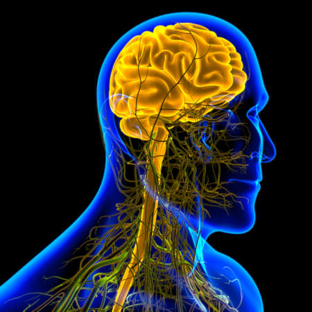 Human Brain Anatomy For Medical Concept 3D Illustration Stock fotó