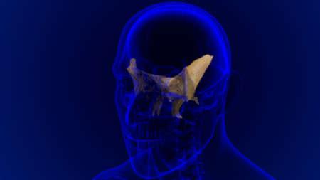 Human Skeleton Skull Sphenoid Bone Anatomy For Medical Concept 3D Illustration