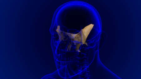 Human Skeleton Skull Sphenoid Bone Anatomy For Medical Concept 3D Illustration