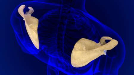 Human skeleton anatomy Scapula Bone 3D Rendering For Medical Concept