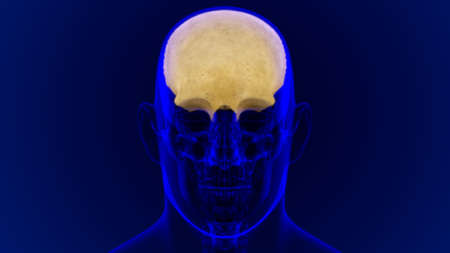 Human Skeleton Skull Frontal Bone Anatomy For Medical Concept 3D Illustration Stock Photo