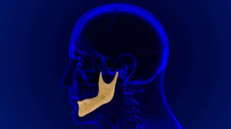 Human Skeleton Skull Mandible Bone Anatomy For Medical Concept 3D Illustration
