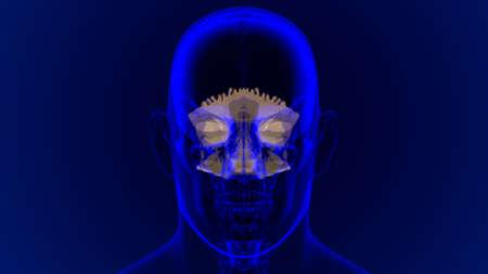 Human Skeleton Skull Occipital Bone Anatomy For Medical Concept 3D Illustration