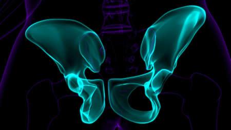 Human Skeleton Hip or Pelvic bone Anatomy For Medical Concept 3D Illustration