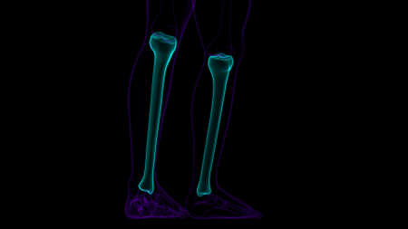 Human skeleton anatomy Tibia Bone 3D Rendering For Medical Concept