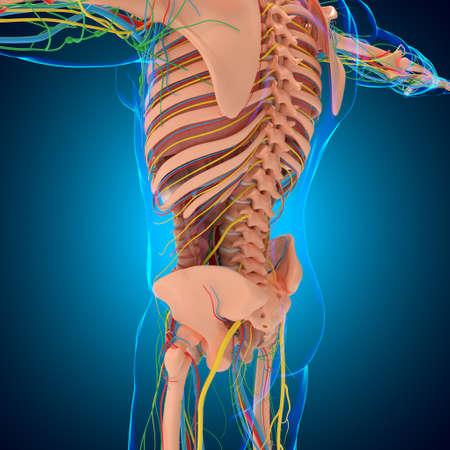 Human Anatomy For medical concept 3D Illustration