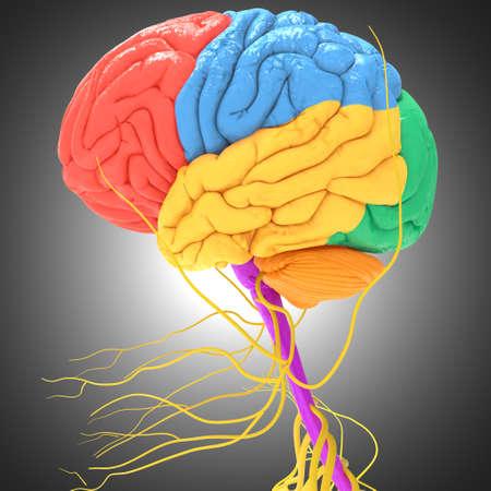 Human Brain Lobes Anatomy on grey