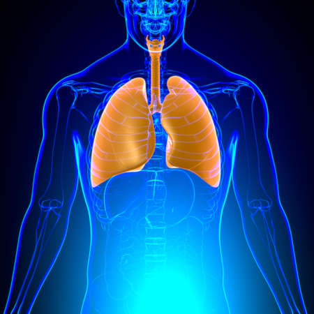 Lungs Human Respiratory System Anatomy For Medical Concept 3D Illustration