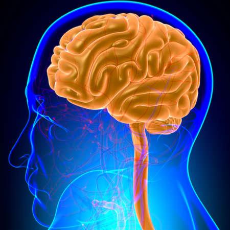Human Brain Anatomy For Medical Concept 3D Illustration Standard-Bild