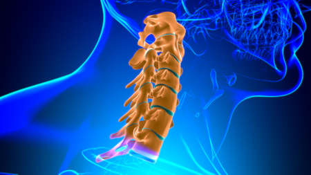 Human Skeleton Vertebral Column Cervical Vertebrae Anatomy 3D Illustration Stockfoto