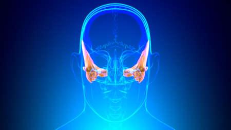 Human Skeleton Skull Temporal Bone Anatomy For Medical Concept 3D Illustration