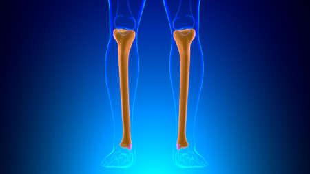 Human skeleton anatomy Tibia Bone 3D Rendering For Medical Concept