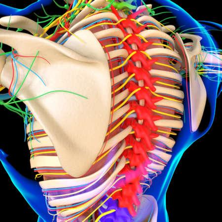 Human Anatomy For medical concept 3D Illustration Render