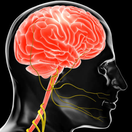 Human Brain Anatomy For Medical Concept 3D Illustration Stockfoto