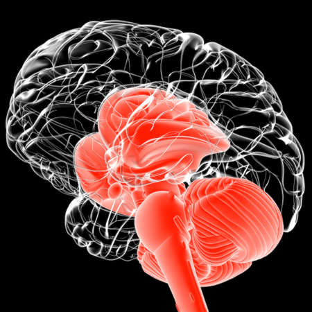 Human Brain inner parts Anatomy For Medical Concept 3D Illustration
