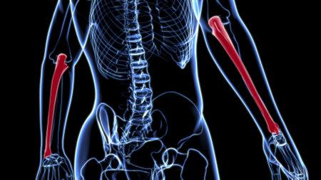 Human skeleton anatomy Ulna Bone 3D Rendering For Medical Concept