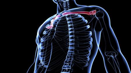 Human skeleton anatomy Clavicle Bones 3D Rendering For Medical Concept Standard-Bild