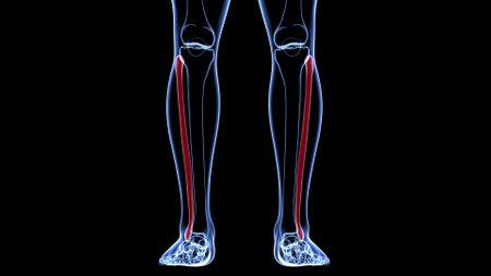 Human skeleton anatomy Fibula Bone 3D Rendering For Medical Concept