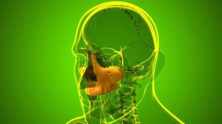 Human Skeleton Skull Maxillal Bone Anatomy For Medical Concept 3D Illustration