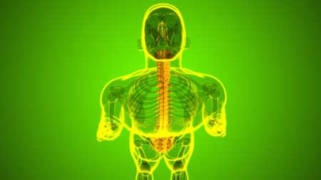 Human Skeleton Vertebral Column Vertebrae Anatomy 3D Illustration