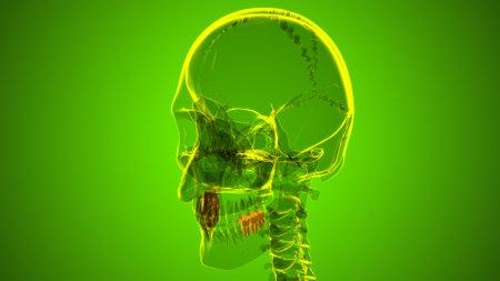 Human Teeth Molars Anatomy 3D Illustration For Medical Concept