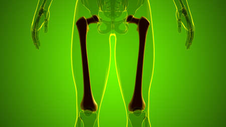 Human skeleton anatomy Femur Bone 3D Rendering For Medical Concept 版權商用圖片