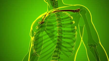 Human skeleton anatomy Clavicle Bones 3D Rendering For Medical Concept 版權商用圖片