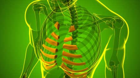 Human skeleton anatomy Costal Cartilage 3D Rendering For Medical Concept