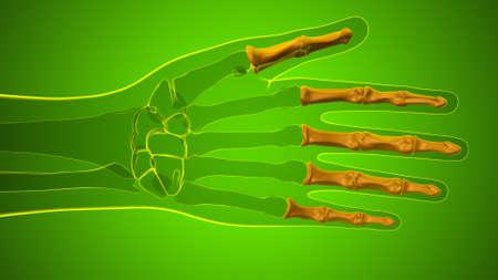 Human Skeleton Hand Phalanges Bone Anatomy For Medical Concept 3D Illustration