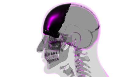 Human Skeleton Skull Frontal Bone Anatomy For Medical Concept 3D Illustration 版權商用圖片