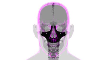 Human Skeleton Skull Maxillal Bone Anatomy For Medical Concept 3D Illustration 版權商用圖片