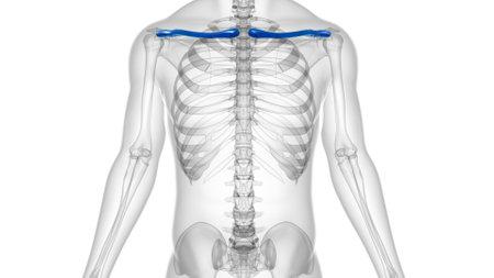 Human skeleton anatomy Clavicle Bones 3D Rendering For Medical Concept Reklamní fotografie