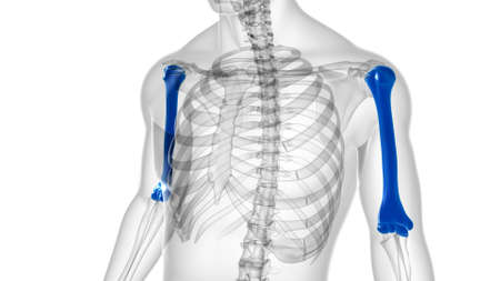 Human skeleton anatomy Humerus Bone 3D Rendering For Medical Concept