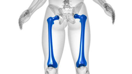 Human skeleton anatomy Femur Bone 3D Rendering For Medical Concept Reklamní fotografie