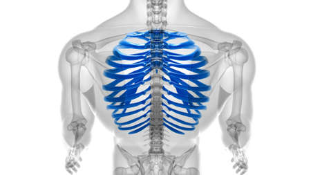 Human skeleton anatomy Rib Cage 3D Rendering For Medical Concept Reklamní fotografie