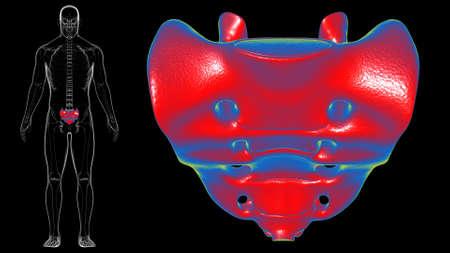 Human skeleton anatomy Sacral Bone 3D Rendering For Medical Concept