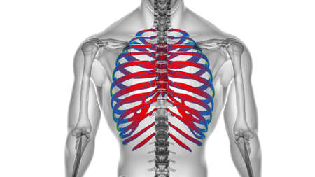 Human skeleton anatomy Rib Cage 3D Rendering For Medical Concept