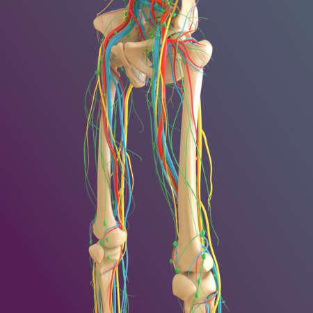 Human skeleton anatomy Femur Bone 3D Rendering For Medical Concept Stock Photo