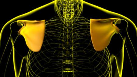 Human skeleton anatomy Scapula Bone 3D Rendering For Medical Concept Stock Photo
