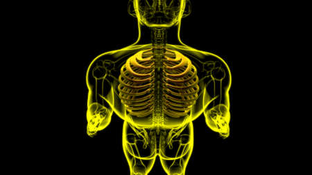 Human skeleton anatomy Rib Cage 3D Rendering For Medical Concept Stock Photo