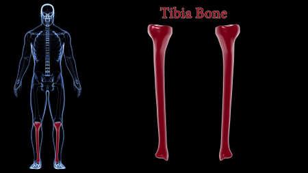 Human skeleton anatomy Tibia Bone 3D Rendering For Medical Concept Reklamní fotografie