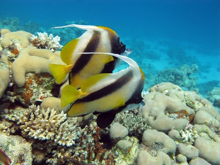coral reef with butterflyfishes Stock Photo