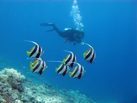 diver and buterflyfishes