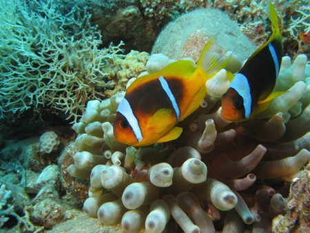 anemonfish on coral reef