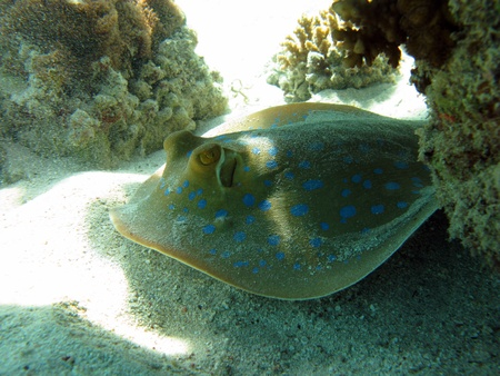 bluespotted: bluespotted  ray on coral reef